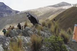В горах Боливии выпустили двух спасённых андских кондоров