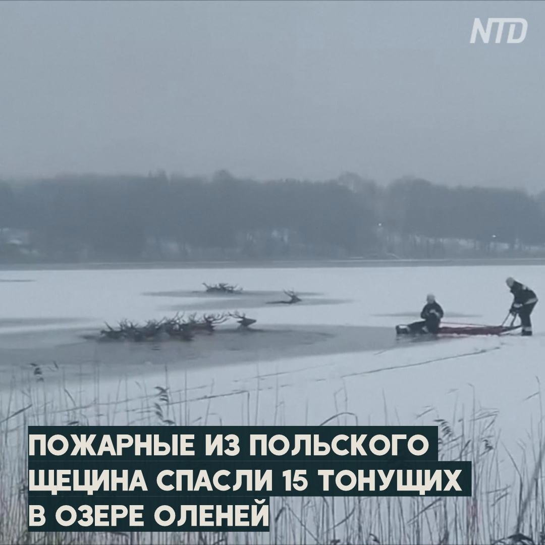 Стадо оленей в Польше провалилось под лёд из-за браконьеров