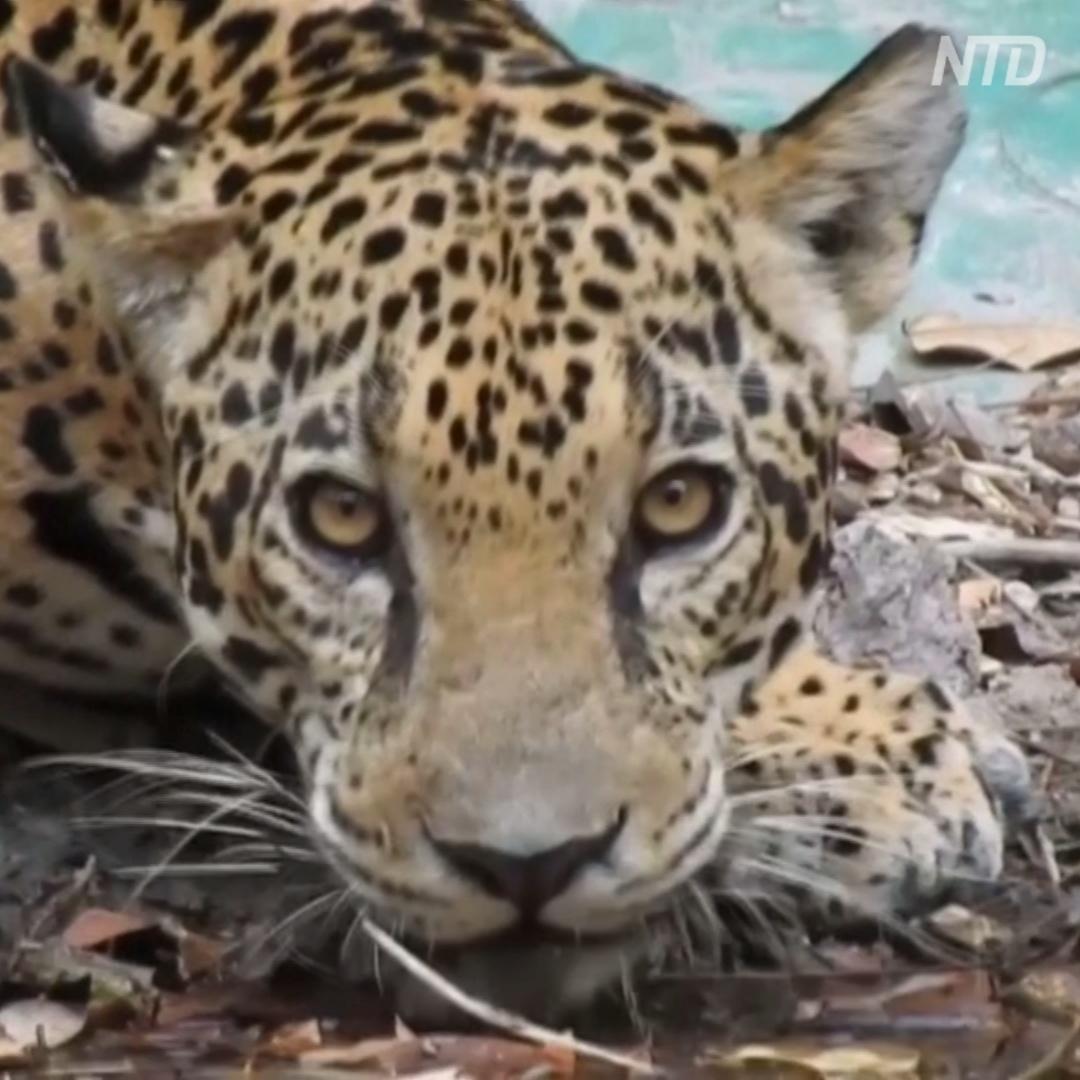 Фотоловушки в Гватемале помогают понаблюдать за ягуарами