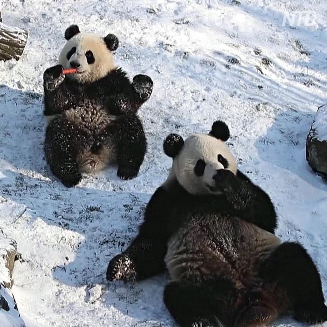 Как панды-близнецы впервые увидели снег