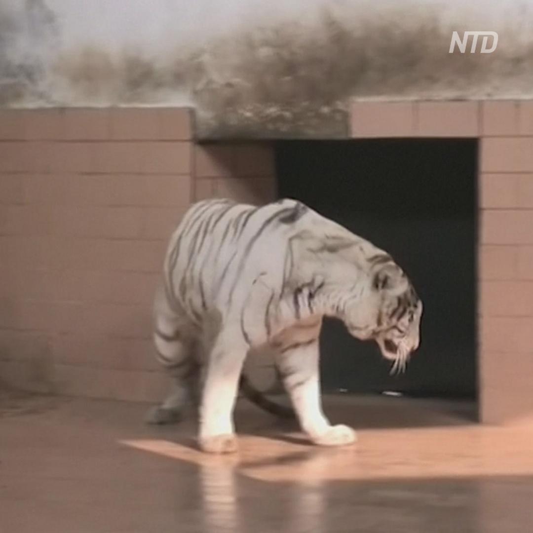 Тигрята в пакистанском зоопарке умерли от COVID?