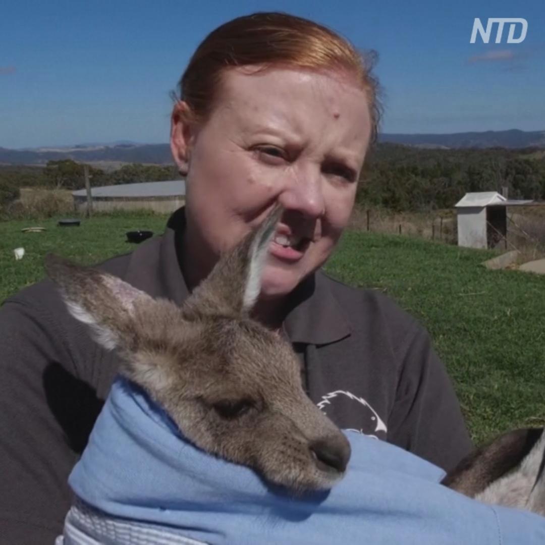 Няня для кенгуру: австралийка спасла 200 детёнышей за 10 лет