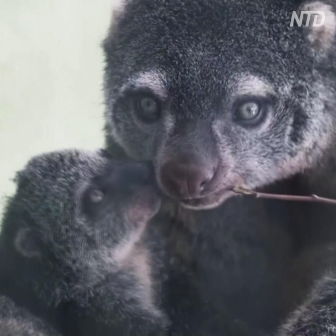 Детёныш редкого медвежьего кускуса предстал перед публикой во Вроцлаве