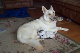 Как овчарка заботится о козлёнке