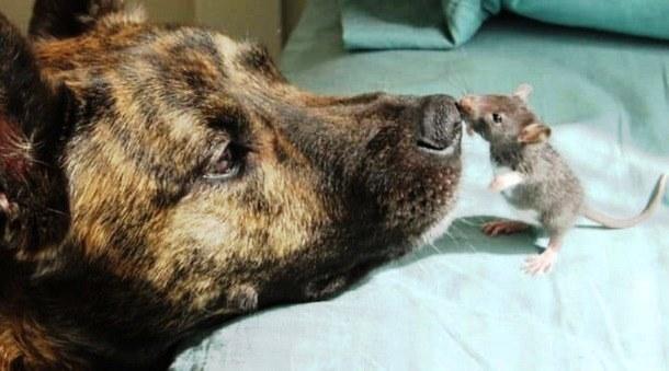 Как дружат пёс и крысёнок. Весёлые фото.