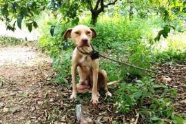 Привязанная собака продержалась 10 дней и спасла щенков