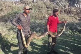 В Индии спасли 4-метрового питона, застрявшего в трубе