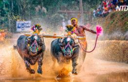 Индийцы устроили гонки буйволов в честь конца сбора урожая