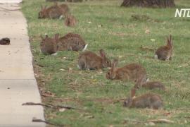 Кролики оккупировали Канберру: популяция растёт из-за феномена Ла-Нинья