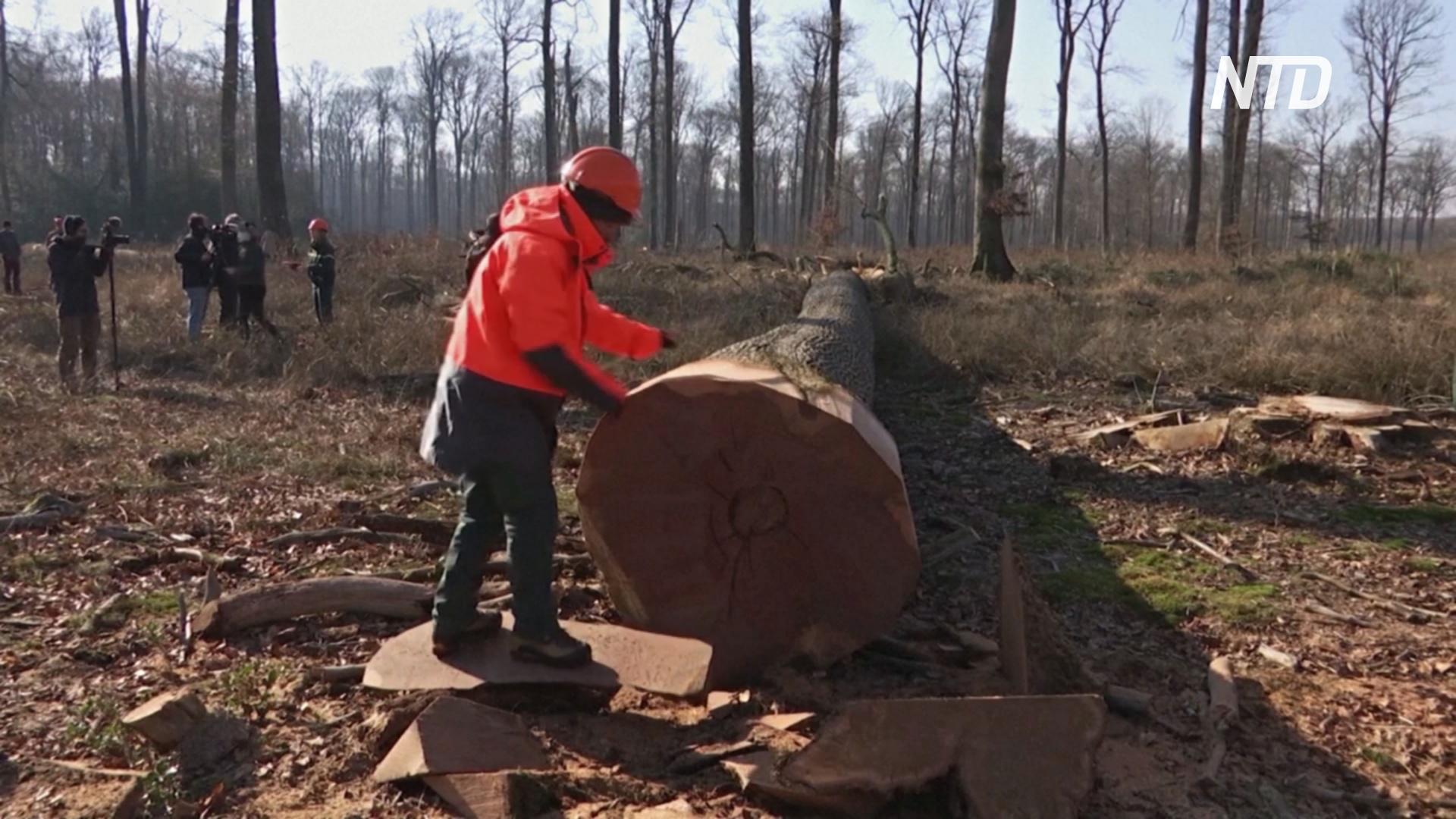 Во Франции начали спиливать дубы для восстановления Собора Парижской Богоматери
