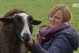 На немецкой ферме разрешают обниматься с овцами, чтобы забыть об одиночестве