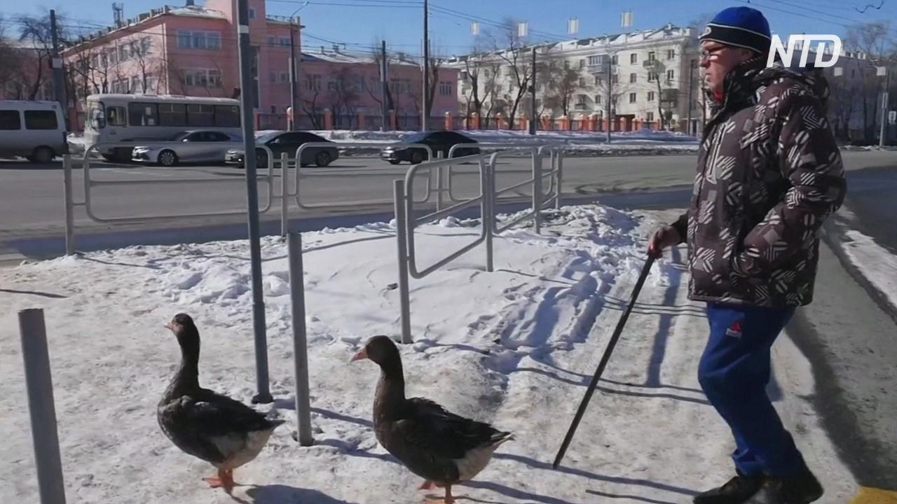 Квартирные гуси: челябинец выдрессировал птиц и гуляет с ними по городу