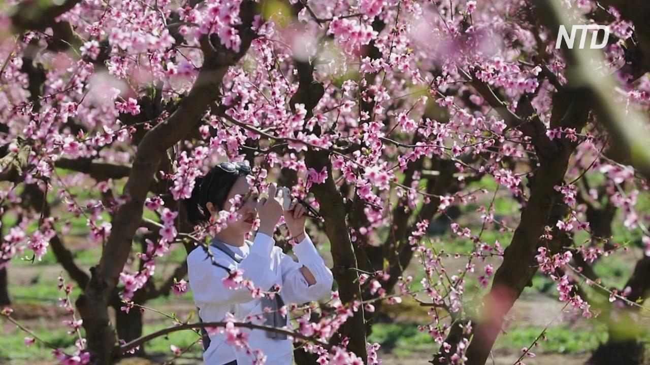 Цветущие фруктовые сады в Испании привлекают туристов