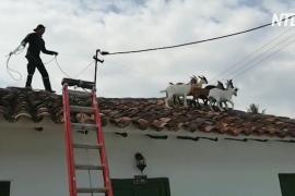 В Колумбии пожарные спасли коз, забравшихся на крышу