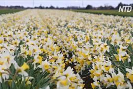 Почему поля нарциссов в Англии стоят в цвету, но их никто не срезает