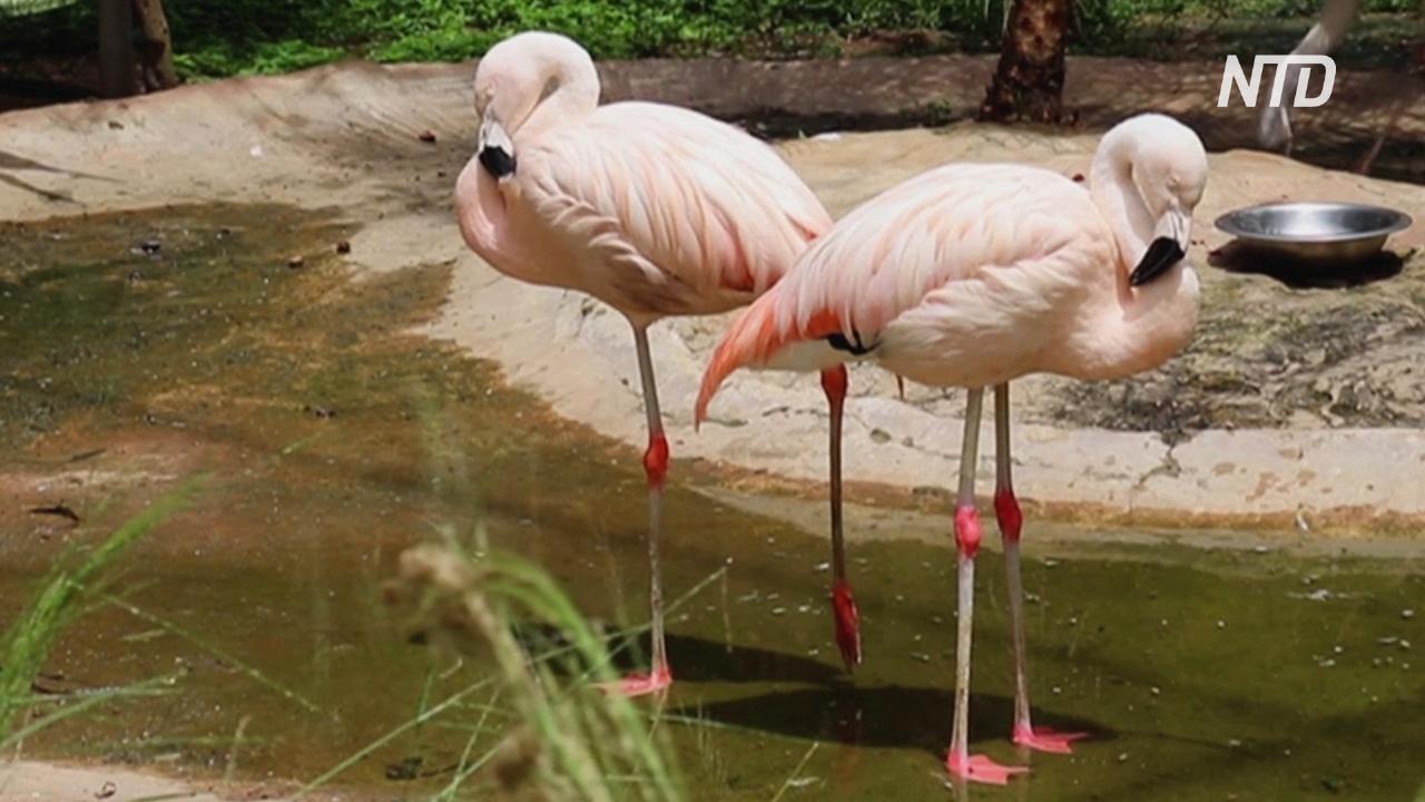 В боливийском зоопарке второй раз приносят потомство редкие андские фламинго