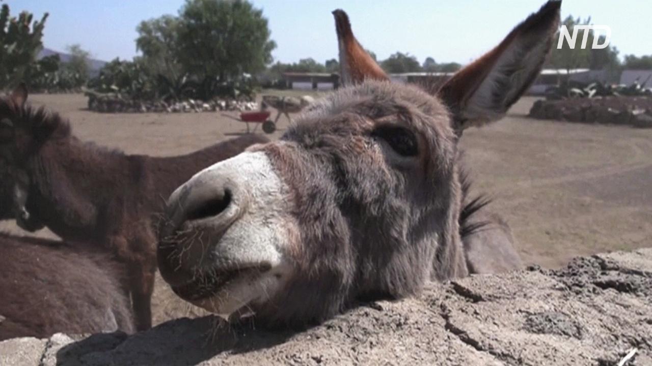 Приют для ослов: в Мексике спасают вьючных животных от жестокого обращения