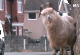Дикие козы наводнили британский городок: плюсы и минусы такого соседства