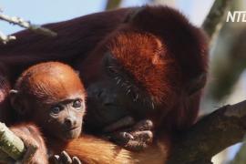 Французский зоопарк приветствует детёныша рыжего ревуна