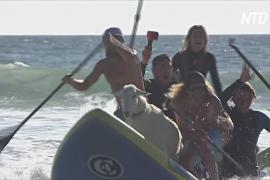 Козлы-сёрферы учат калифорнийских детей не бояться воды