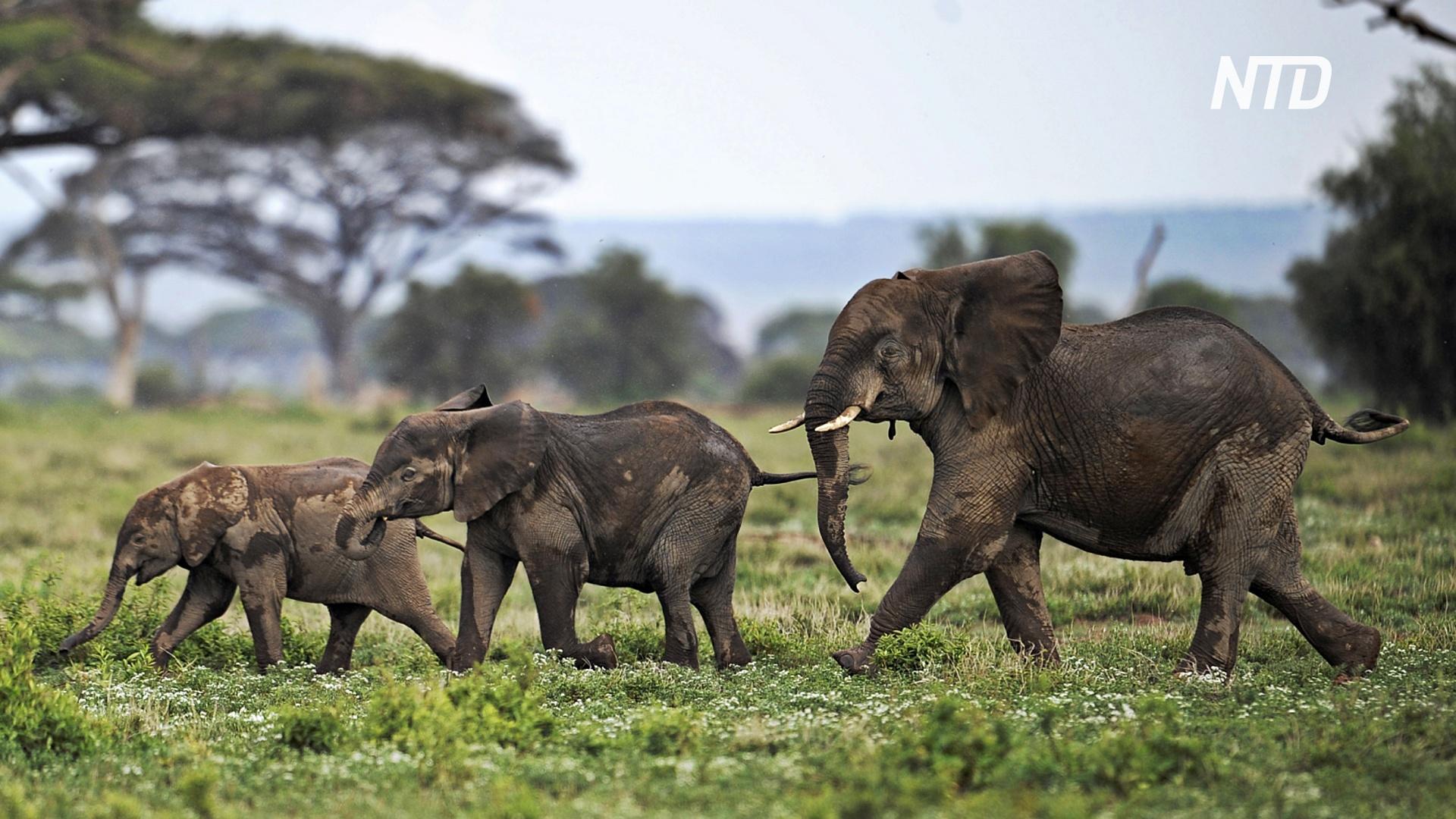 Красная книга: африканским слонам угрожает исчезновение