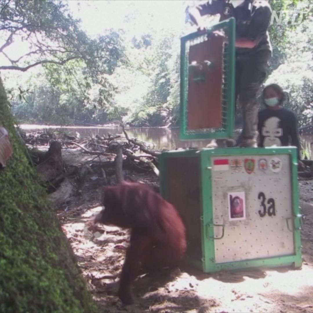 Как калимантанских орангутанов выпускали в джунгли