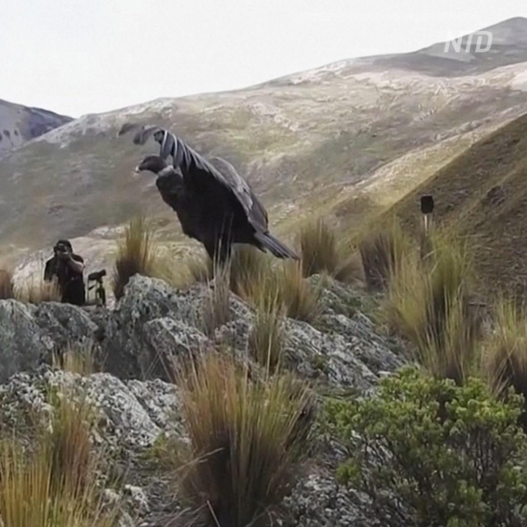 Двух андских кондоров вернули в дикую природу в Боливии