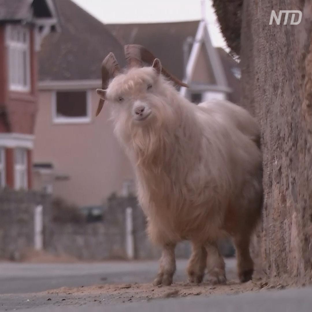 Дикие козы наводнили британский городок после начала пандемии