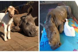 Как проводят время лучшие друзья ягнёнок и носорог