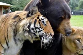 Как медведь, тигр и лев дружили всю жизнь