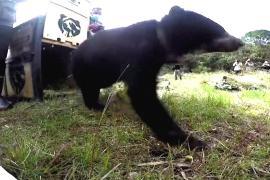 В Колумбии выпустили в дикую природу спасённого андского медведя