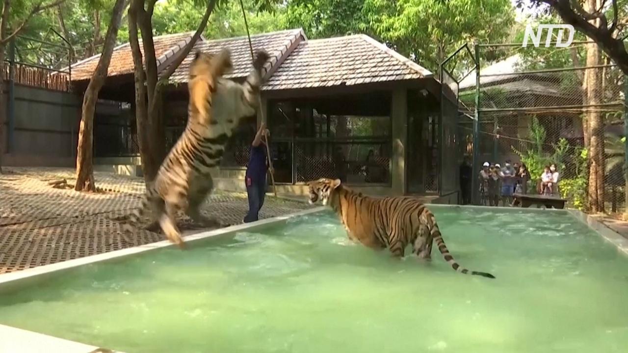 Как тигров в зоопарке Таиланда спасают от жары