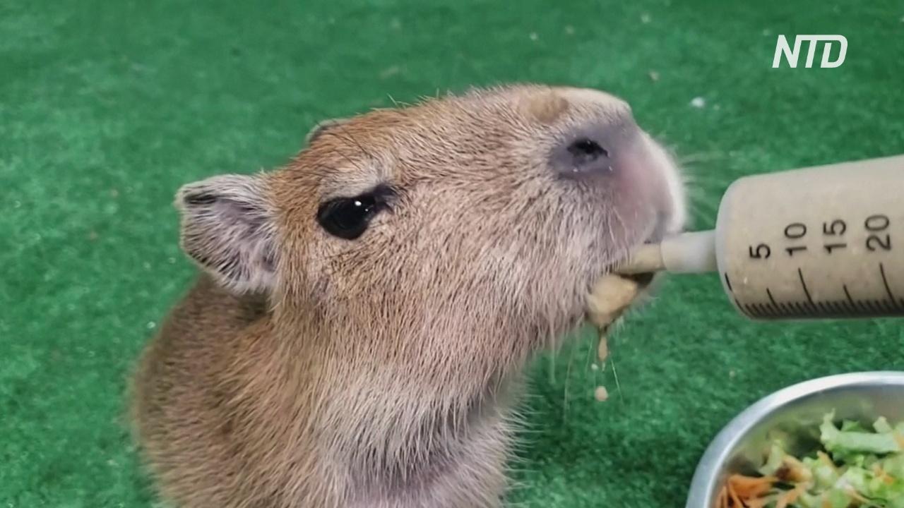 Смотрители колумбийского зоопарка выходили брошенного детёныша капибары