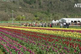 Самое большое поле тюльпанов в Азии привлекает туристов в Кашмир