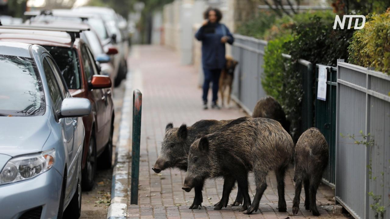 Сотни кабанов превратили израильский город в пастбище