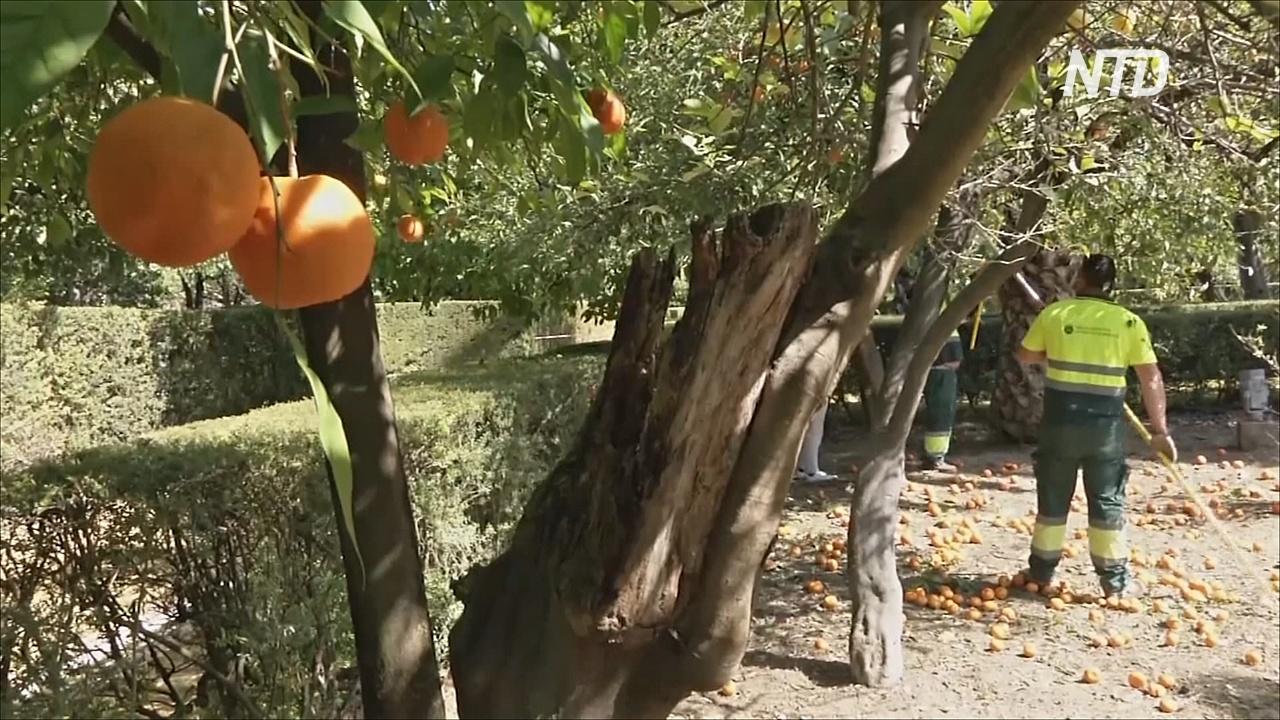 Севилья возрождает традицию дарить британской королеве апельсины на мармелад