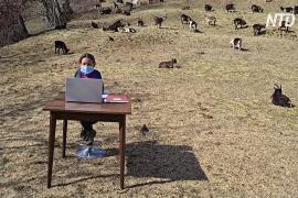 Уроки в окружении коз: итальянская школьница посещает онлайн-занятия с выпаса