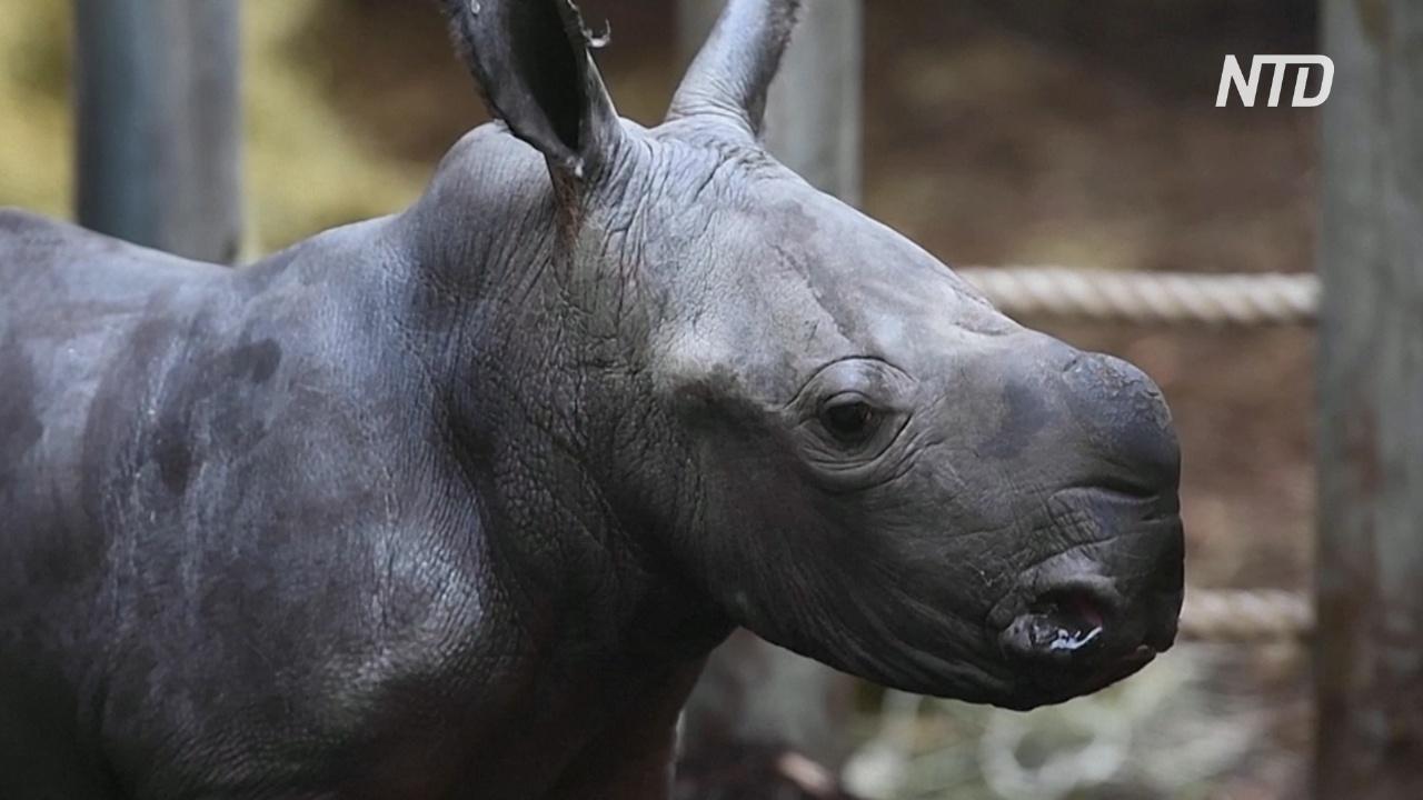 Пасхальный подарок: в нидерландском зоопарке родился белый носорог