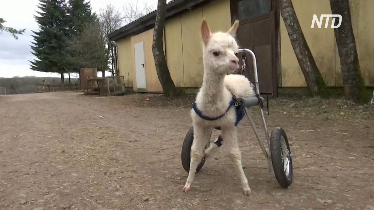 Осиротевшая альпака-инвалид снова может ходить