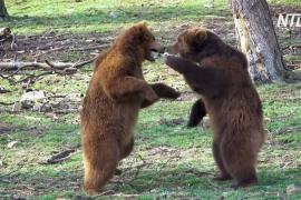 Медведи в бельгийском зоопарке разминают лапы после зимней спячки