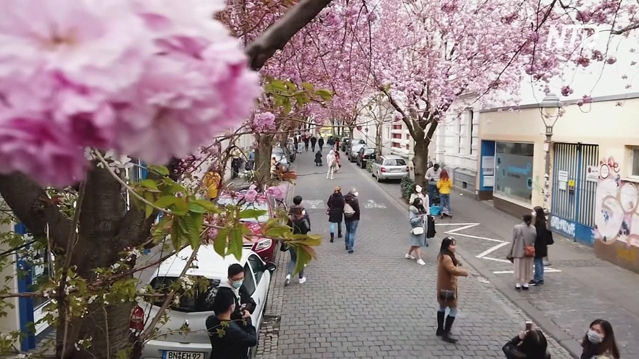 Улицы Бонна нарядились в розовое платье из вишнёвых цветов