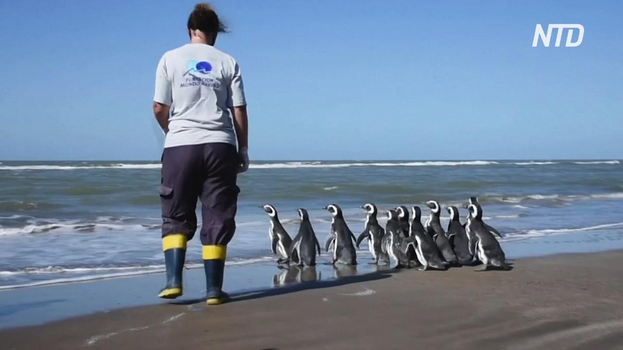 В Аргентине вылечили и вернули в океан 12 магеллановых пингвинов