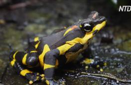 Исчезающих панамских жаб впервые вывели в неволе