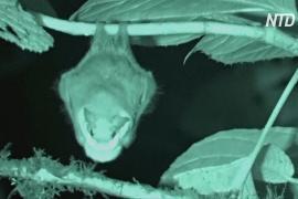 Складчатомордые листоносы привлекают партнёров пушистыми масками