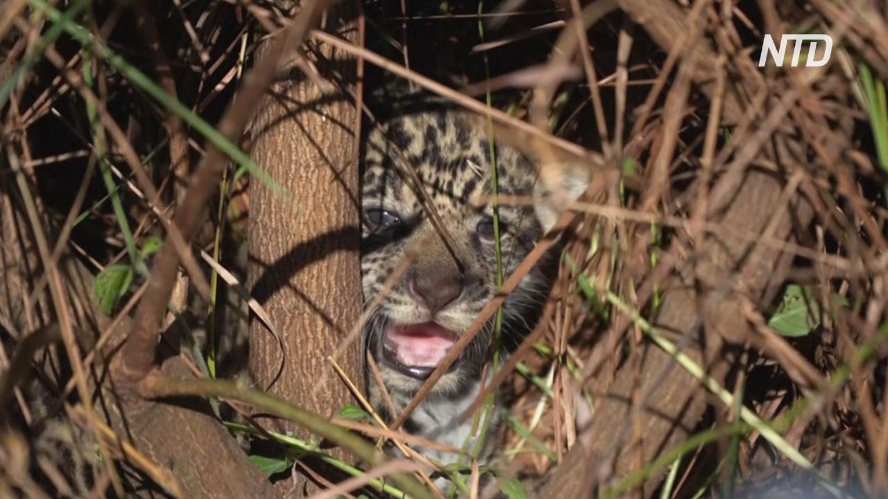 Семейство ягуаров поможет восстанавливать популяцию в Аргентине