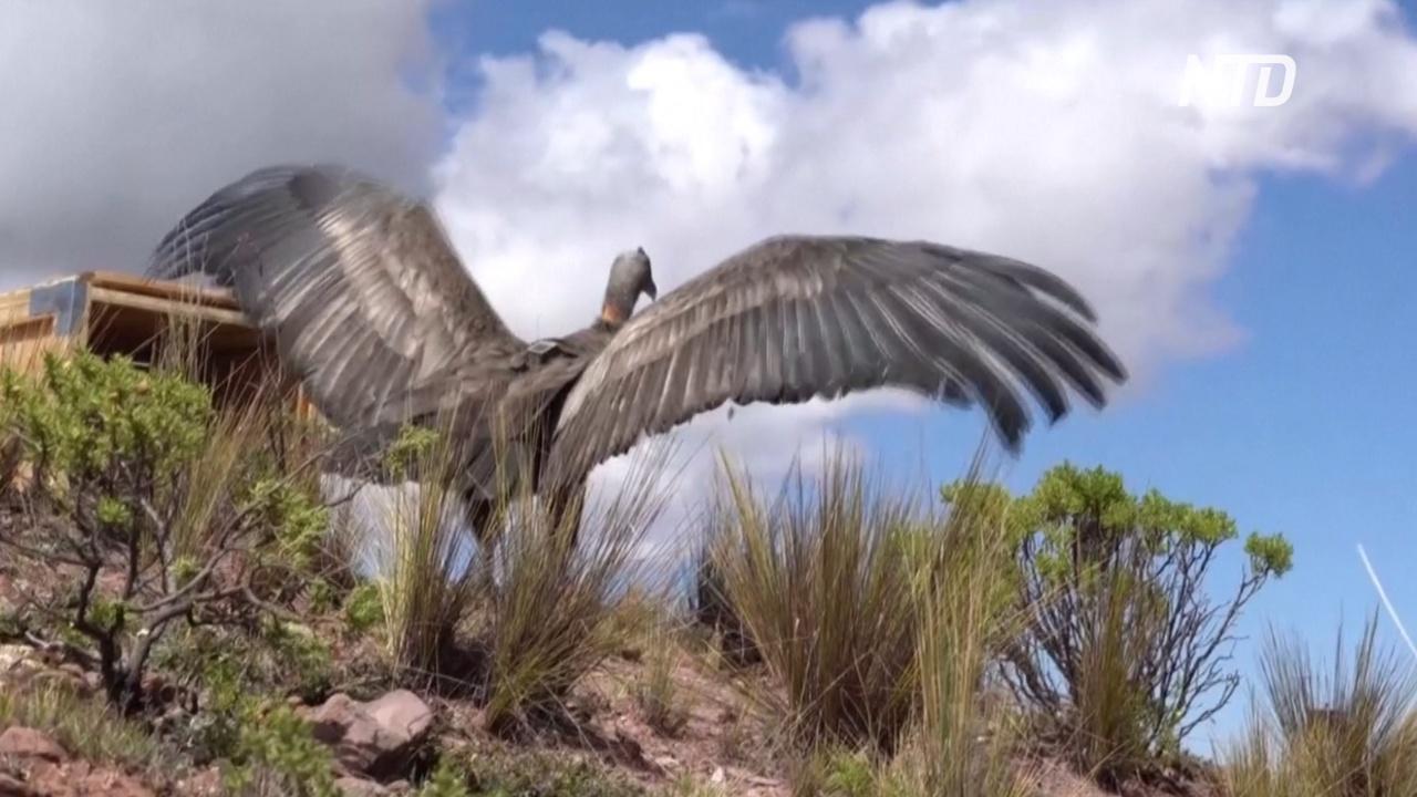 В Боливии выпустили в дикую природу спасённого андского кондора