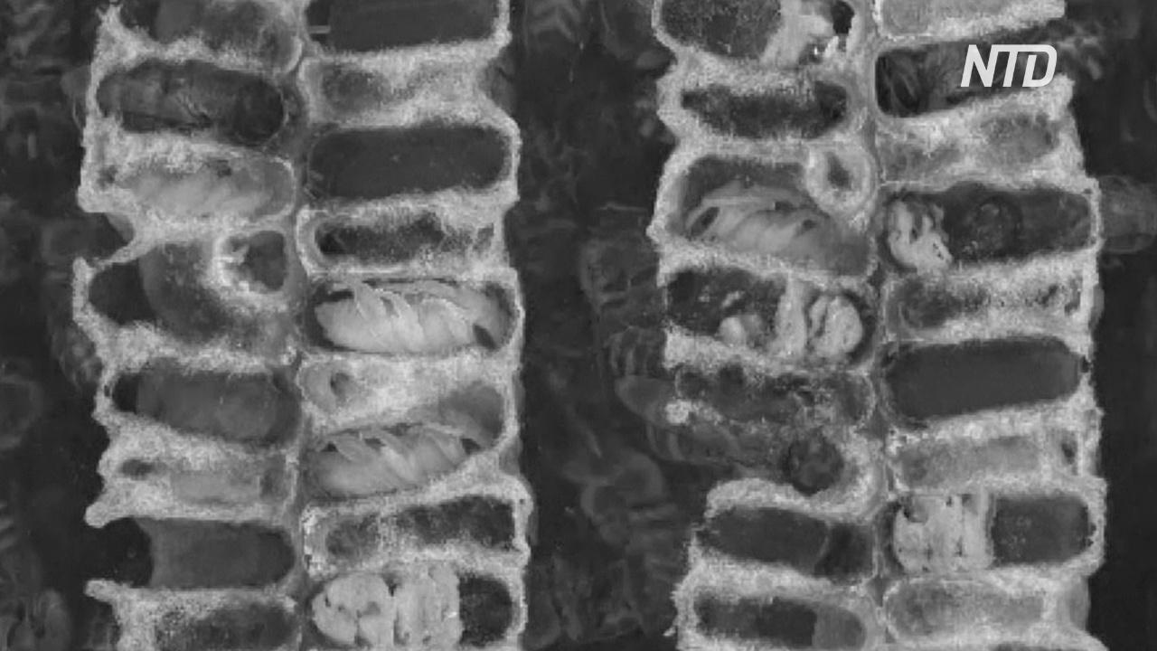Уникальное видео: немецкие учёные сняли, что происходит в пчелиных ульях