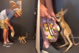 Как кенгуру-сирота делает свои первые шаги