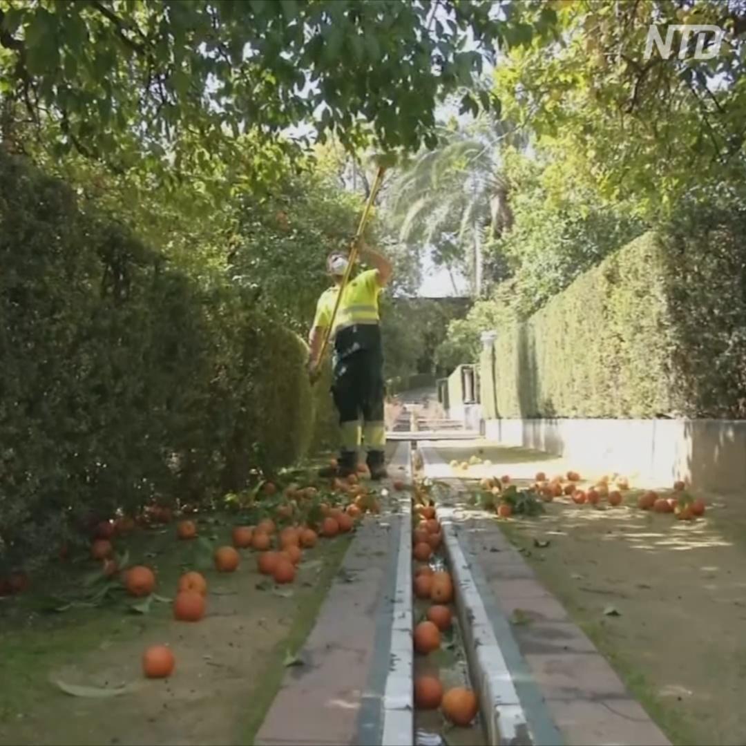 Севильские апельсины: с деревьев – на стол британской королевы