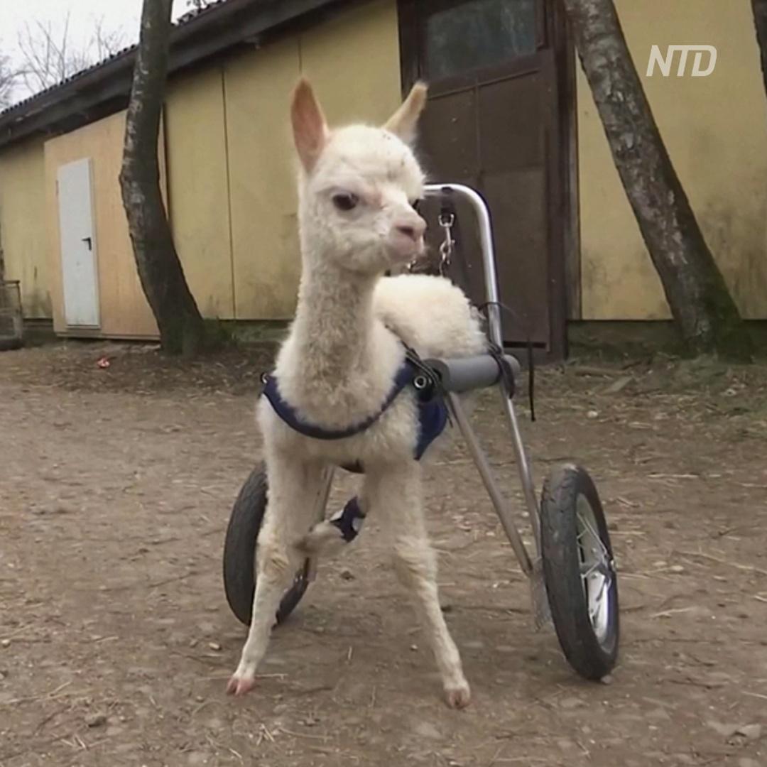 Немка приютила альпака с травмированными ногами